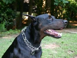 doberman dog hd wallpapers doberman dog images doberman pinscher dog 149