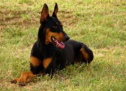 doberman dog hd wallpapers doberman dog images doberman pinscher dog 1716