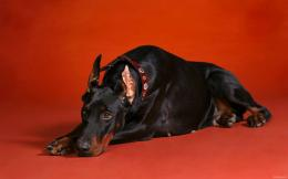 doberman dog amazing doberman dog desktop wallpapers doberman dog hd 702
