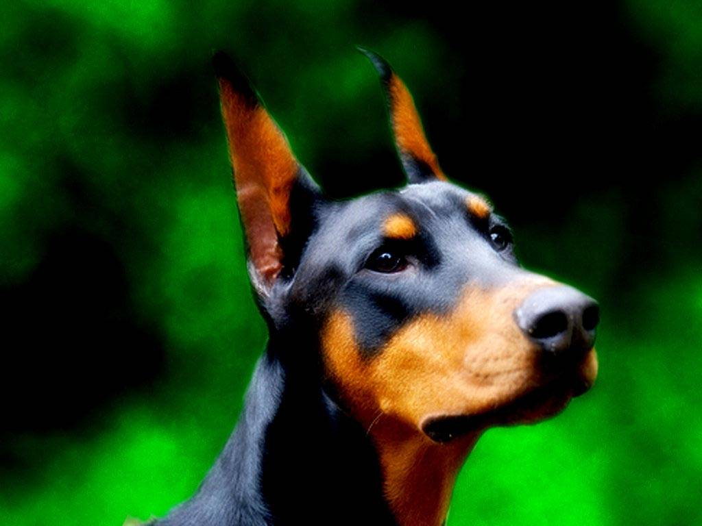 Doberman Wallpaper, doberman desktop wallpaper 840