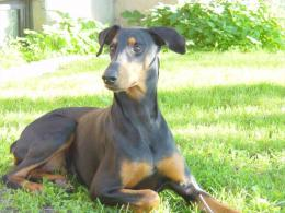 with: Dogs Doberman Pinscher Dogs Doberman Pinscher HD Wallpaper 166