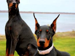 Doberman Dog Soldiers Pictures jpg 359