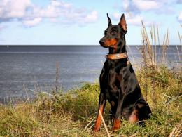 Doberman dog hd wallpapers 1337