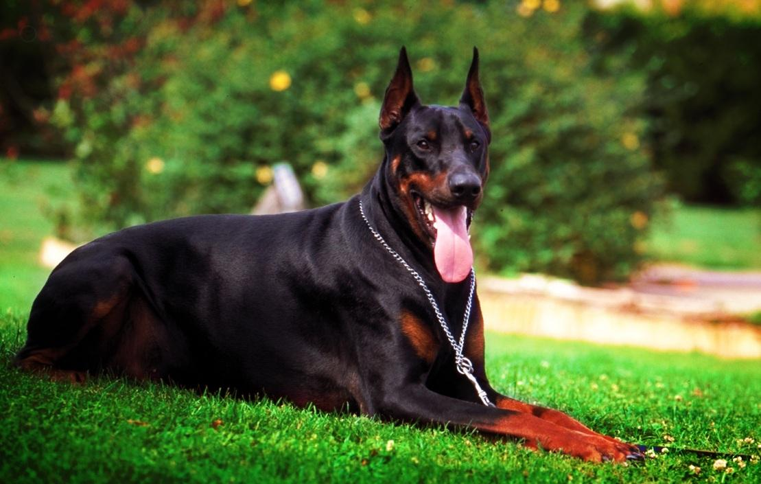 Doberman dog hd wallpapers 225