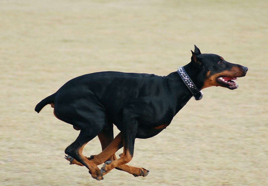doberman pincher welcome to our world
