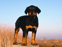 Doberman puppy dogs animals 148