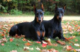 dogs dobermans huge doberman pinscher dog running doberman dogs images 1370