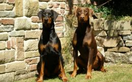 Doberman dog hd wallpapers 1840