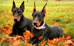 Doberman Dog 1039