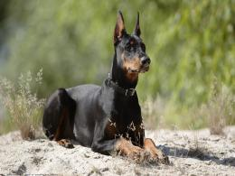 doberman dog desktop wallpapers doberman dog hd wallpapers doberman 1472