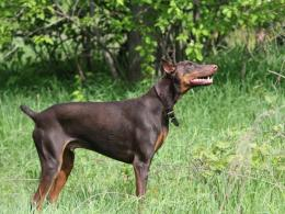 Dogs Doberman Pinscher HD Wallpapers 1526