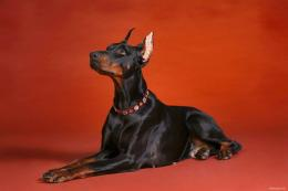 Doberman on RedDogs Wallpaper 1143