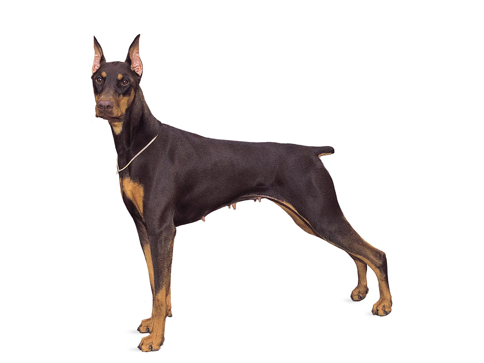 Doberman dog hd wallpapers 763