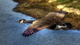Duck Wild Flying Water Bird HD Wallpaper 1600
