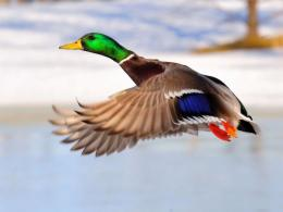 COLORFUL MALLARD, BIRD, COLORFUL, DUCK, FLYING, MALLARD 1217