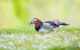 Mandarin Duck Bird Field HD dimensions desktop picture 659