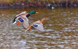 Ducks Wild Birds Lake Nature Awesome HD Wallpaper 966