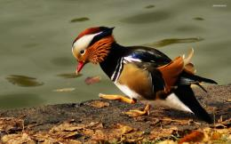 Mandarin Duck wallpaper 1920x1200 548