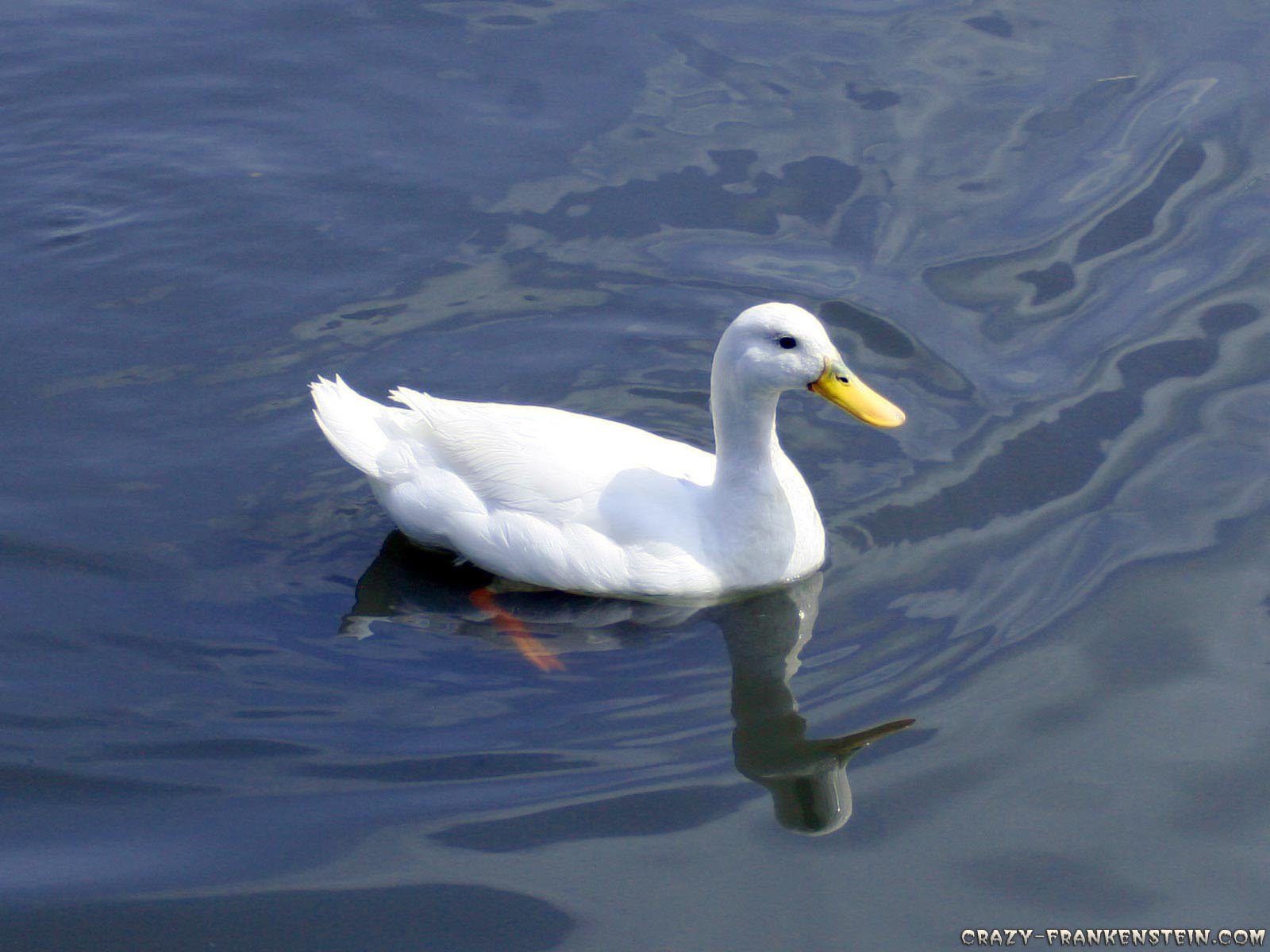 Duck Bird HD Wallpapers 454