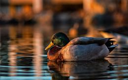 Ducks HD Wallpapers 760