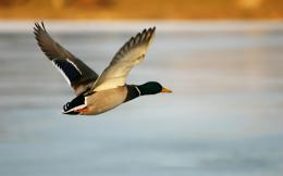 flight duck hd images best cool duck hd wallpapers background 997