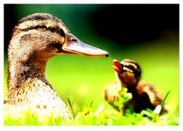 Mother duck spring bird duckling adorable 213