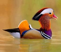Mandarin duckchina colourful bird HD Wallpaper 360