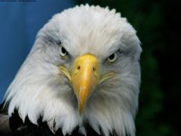 bald eagle hd 3 1600×1200 1289