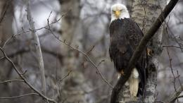 eagle hd images widescreen desktop wallpapers background 976