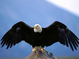 wingspan bald eagle new hd wallpapers free eagle images 638