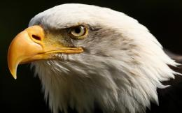 Eagle HD Images 453
