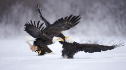 HD animal wallpaper of two figting eagles in the snow | HD eagle 1281