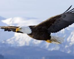 Eagle HD Images 1514