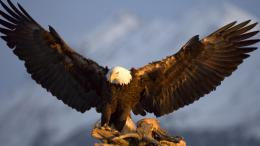Awesome Eagle Wallpaper HD 908