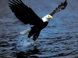 bird eagle hd images beautiful background wallpapers eagle best hd 1264