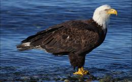 Bald Eagle HD Wallpapers 2012 584