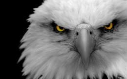 Eagle eyes Wallpapers Pictures Photos Images 857