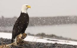 Eagle HD Images 1548