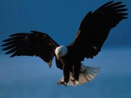 Eagle in attack wallpaper download 335