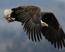 Eagle HD Images 976