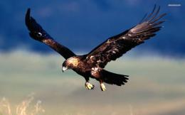 Golden Eagle wallpaper 1680x1050 1973