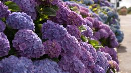 Beautiful and elegant hydrangeas Desktop Wallpaper 14 1920x1080 1578