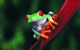 Animals Frogs Wallpaper 1920x1200 Animals, Frogs 138