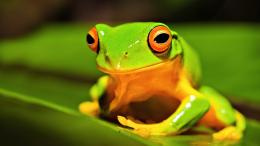 Frog wallpaper HD 1317