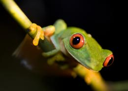 Frog Desktop Wallpapers 1472