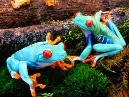 Tagged with: Colorful Frog Colorful Frog HD Wallpaper 1673