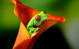 Tree frog hd Wallpapers Pictures Photos Images 950