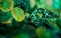 Green Black Poisonous Frog Wallpaper Wallpaper 771