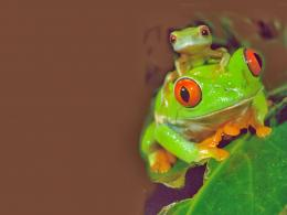 Frog wallpaper HD 728