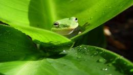 Frog HD Desktop Wallpapers 268